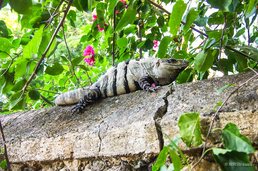 Well-fed Iguana on the grounds of Hacienda Chichén