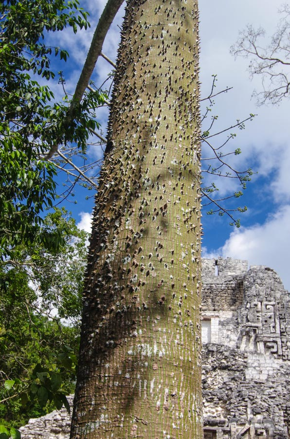 Ceiba Tree Better Copyright