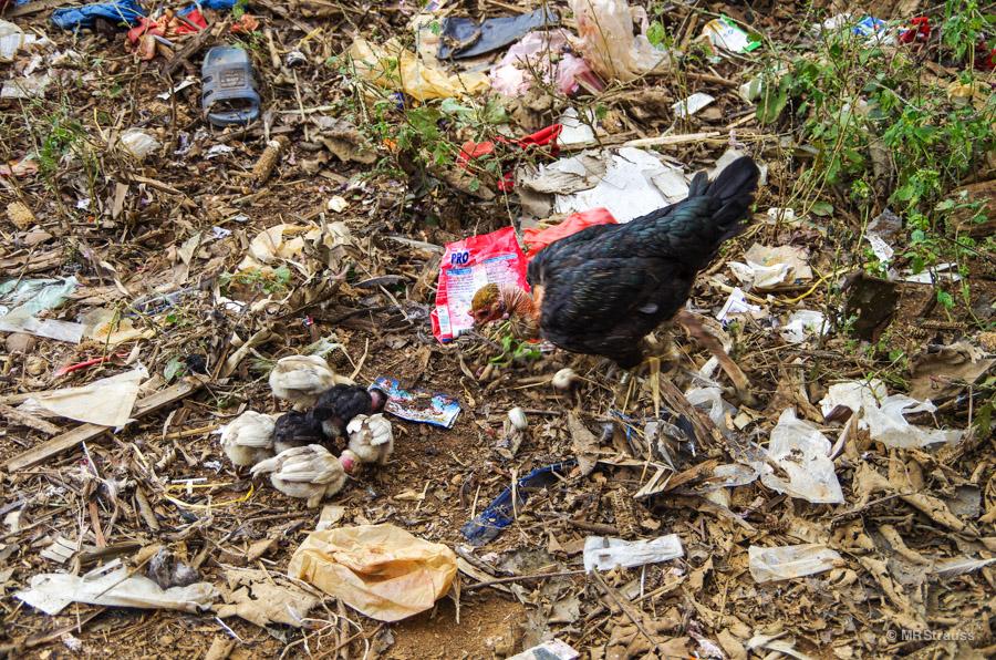 Chicks with Trash